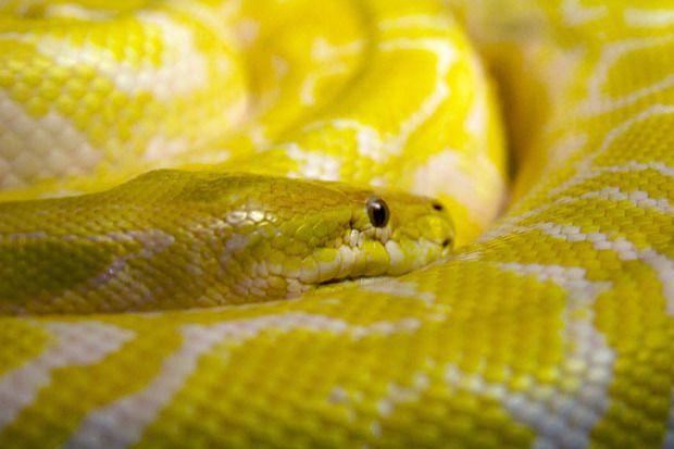 yellow_python-100598031-primary.idge_
